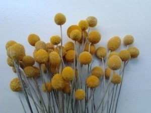 Yellow Dried Billy Balls (Craspedia) - 4 Bunches Of 50 Stems Each Centerpiece