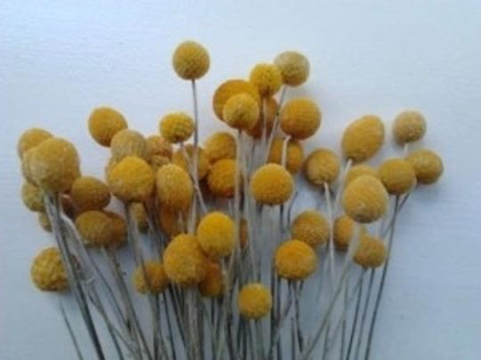 Preload https://item1.tradesy.com/images/yellow-dried-billy-balls-craspedia-4-bunches-of-50-stems-each-centerpiece-165645-0-0.jpg?width=440&height=440