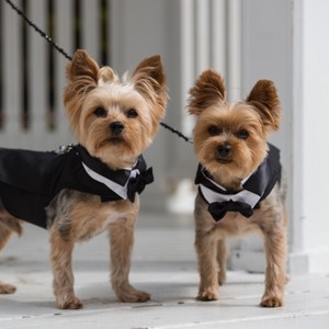 2 Classic Dog Tuxedos W/ Harness Tails Bow Ties And Top Hats Plus 2 Beaded Dog Leashes