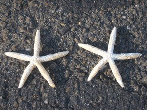 50 White Finger Starfish Starfish 4.5